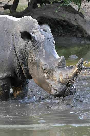 White rhino enjoying mud wallow, Khama Rhino Sanctuary, Botswana