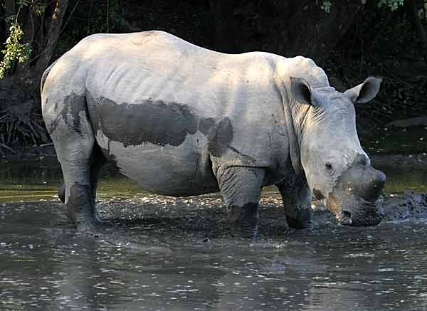 Rhino standing in waterhole