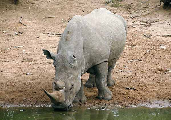 Rhino at waterhole