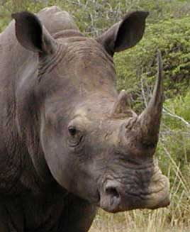 White Rhino showing square mouth