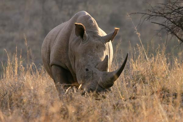 White Rhino, front-on
