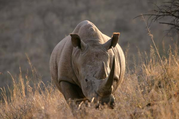 White Rhino standing, front-on view, Weenen Nature Reserve, South Africa
