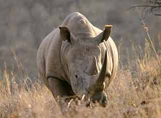 White rhino, Weenen game reserve, South Africa