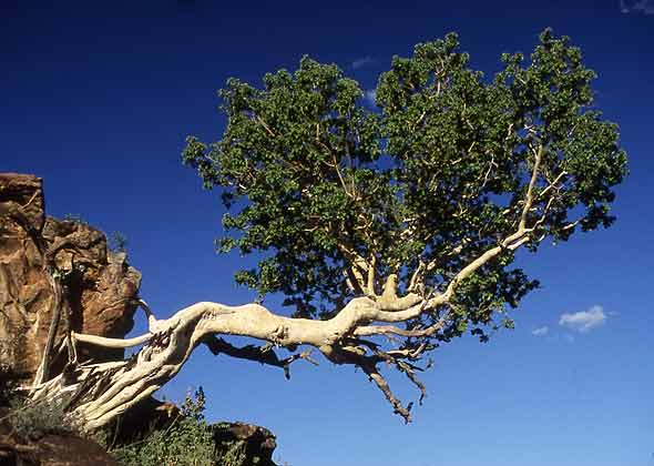 African Rock Fig