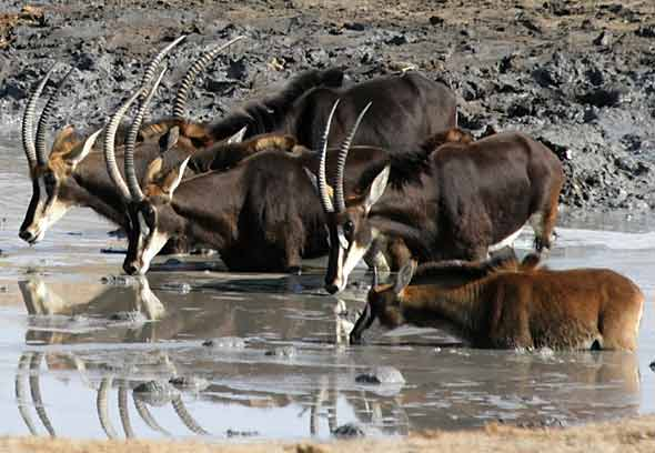 Sable Antelope at waterhole
