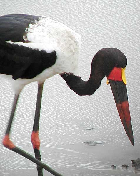 Picture of saddlebilled stork (male)
