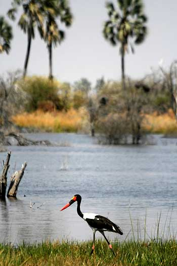 Saddlebilled stork and palm trees, Okavango Delta, Botswsana