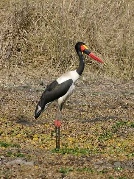 Saddlebilled Stork