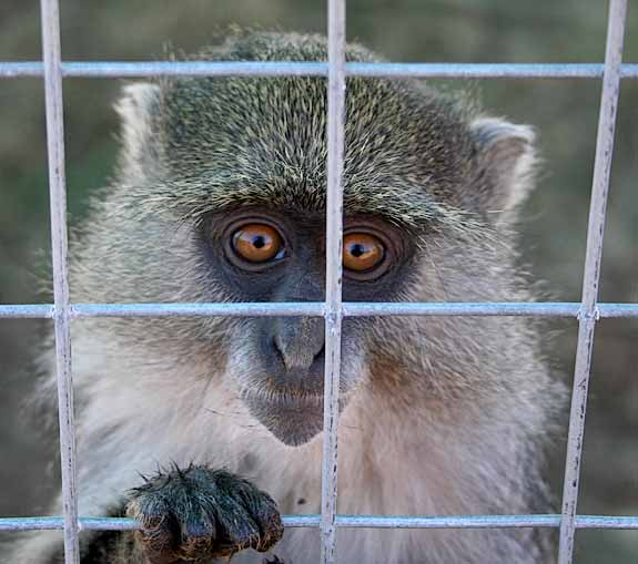 Samango Monkey in captivity