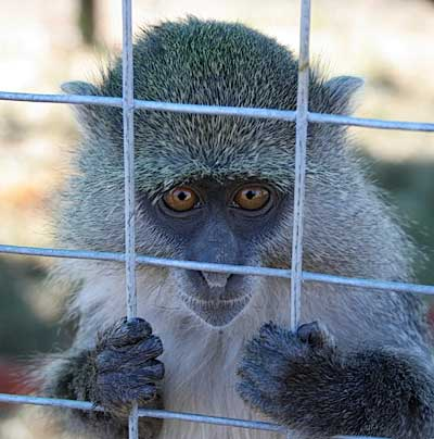 "A Life Behind Bars for Abandoned ""Pet"" Monkeys"