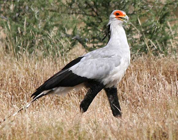 Secretarybird striding through bushveld