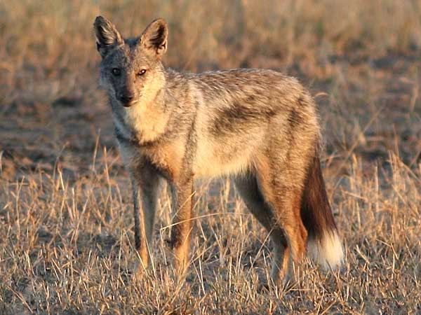 side-striped jackal in late afternoon sun