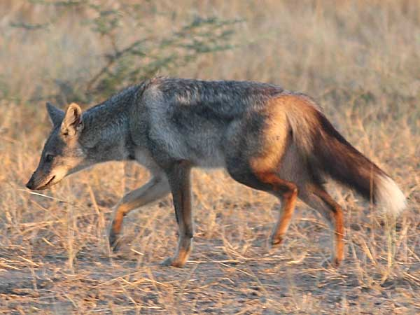 Side-striped jackal on the move, lower zambezi, zambia