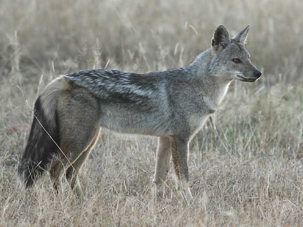 side-striped jackal side-on view
