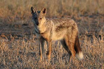 Side-striped jackal in late afternoon light