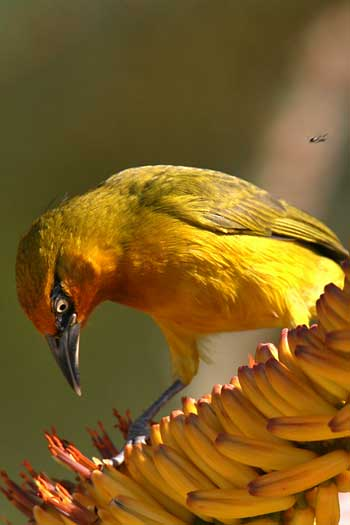 Spectacled weaver hunting for insects