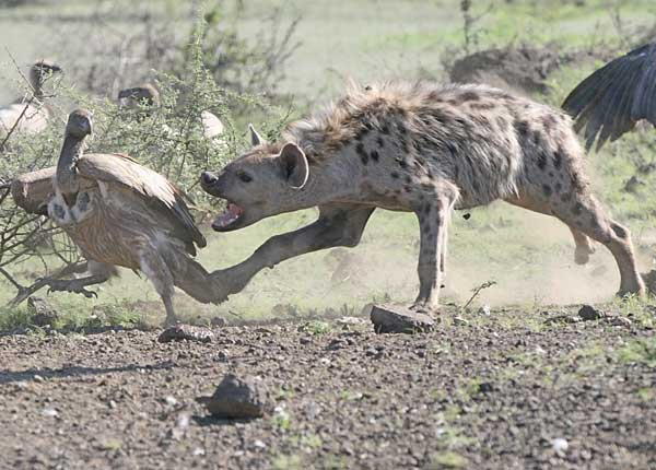 Spotted hyena snapping at vulture, kruger national park