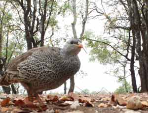 spurfowl, photo out of focus