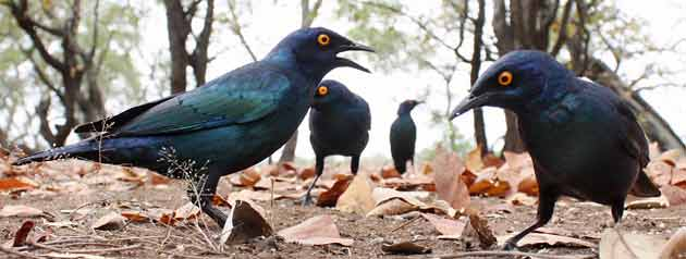 Glossy starlings, wide angle view, Kruger Park