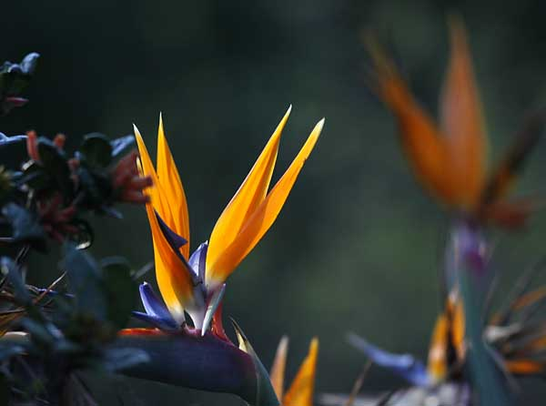 Strelitzia flower backlit