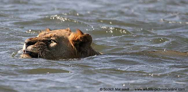 Lion swimming in Zambezi River