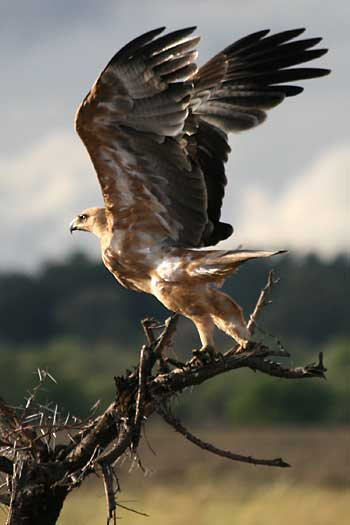 Tawny Eagle taking off, Mashatu Game Reserve, Botswana
