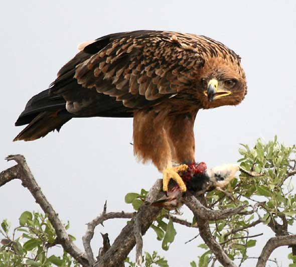 Tawny Eagle with Prey