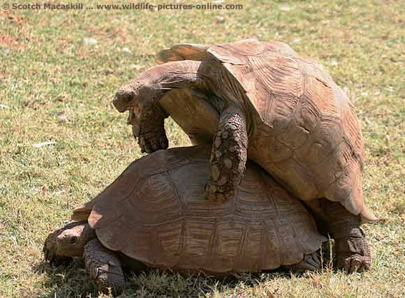 Tortoise mating