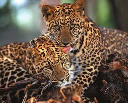 Leopards, fine art print