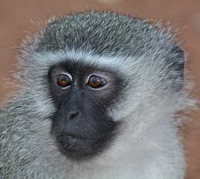 Vervet monkey close-up showing black face