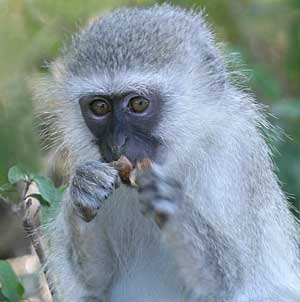 Young vervet monkey holding seed pod to its mouth