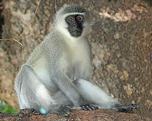 Adult vervet monkey