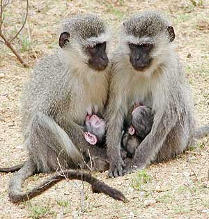 Vervet monkey mothers suckling their young