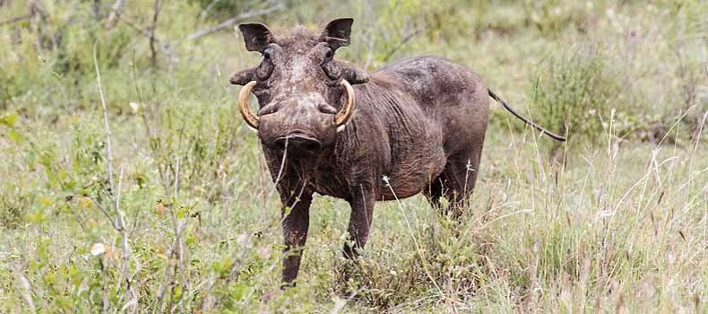 Warthog looking at camera, Kruger National Park, South Africa