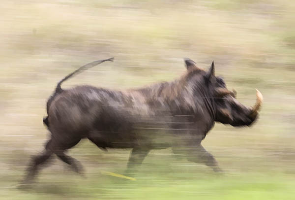 Warthog male running, motion blur