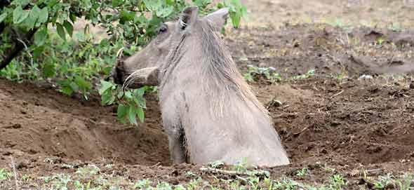Warthog in its burrow