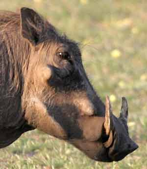Warthog showing tusks and warts