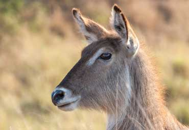 Waterbuck female portrait, Kruger National Park