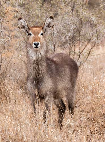 Waterbuck female in winter vegetation, Kruger National Park