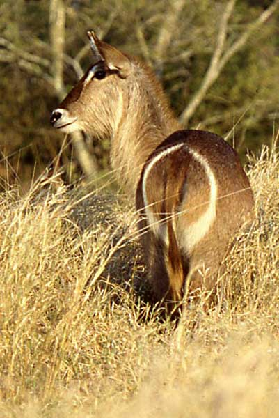 Waterbuck female showing white ring on rump
