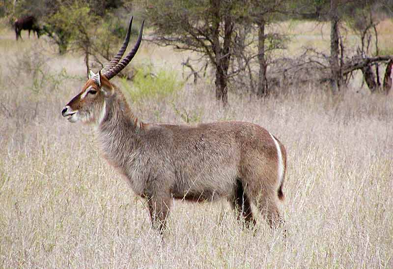 Waterbuck bull, side-on, Kruger National Park