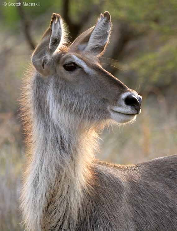 Waterbuck female. close-up, Kruger Park