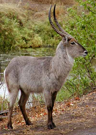 Waterbuck male, side view