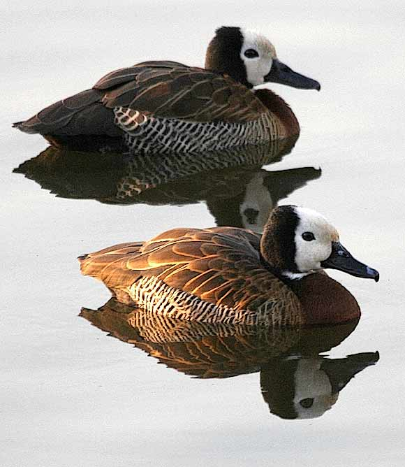 Pair of whitefaced duck with reflections