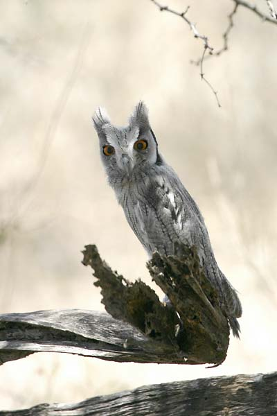 Whitefaced owl, immature