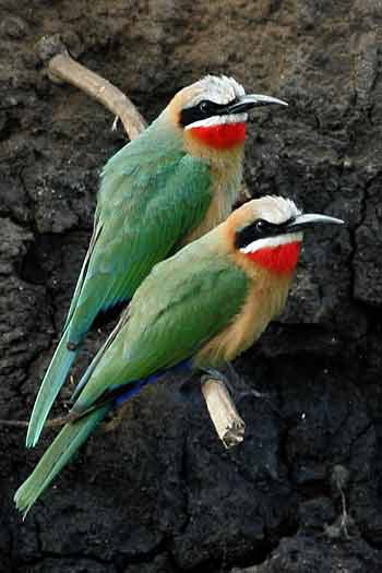 White-fronted bee-eaters against riverbank