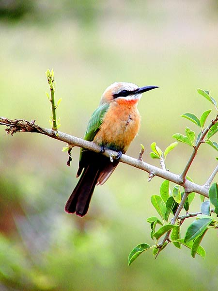 Picture of Whitefronted Bee-eater