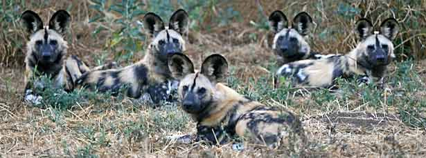 Pack of African wild dogs, Botswana