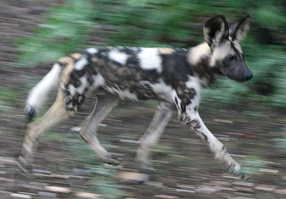 African painted dog, motion blur