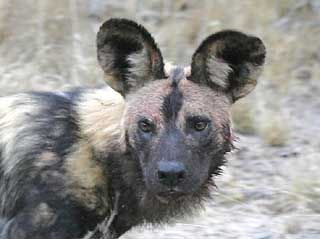 Wild Dog close-up, Sabi Sand, South Africa